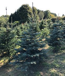 Rocky Mt. Fir Spruce Christmas Tree