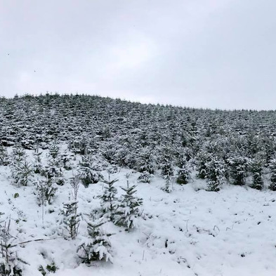 Plantation in the snow