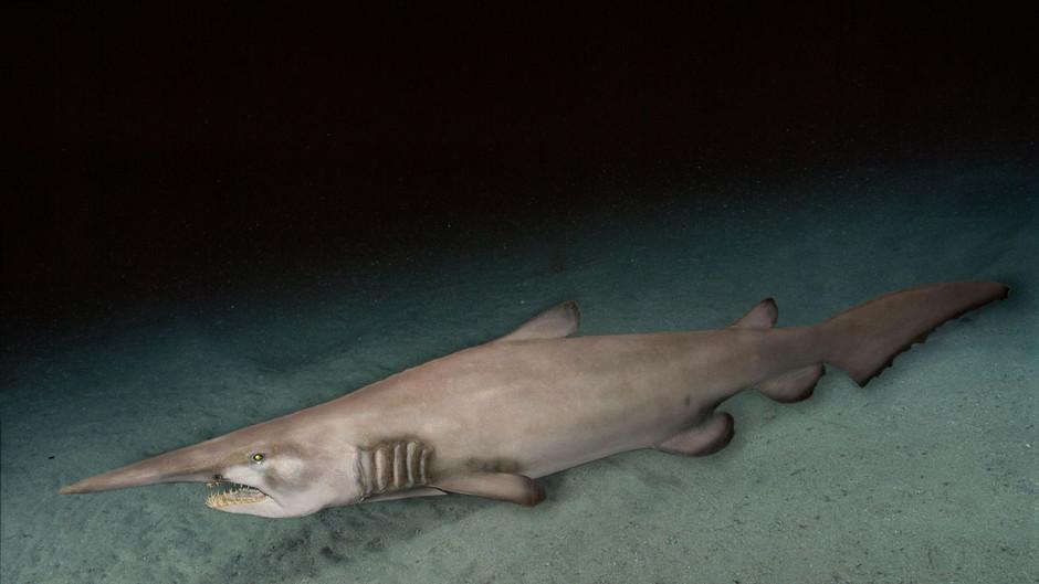 THE MYSTICAL SHARK (Goblin shark)