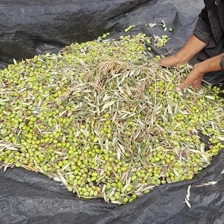 Olive Harvest Initiatives