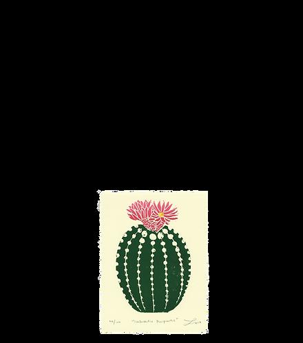 Notocactus Purpureus
