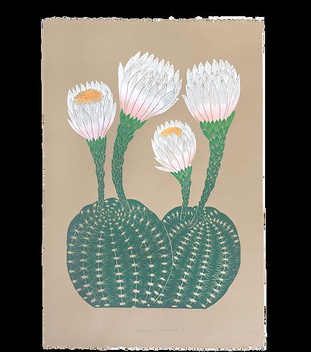Echinopsis Mamillosa II