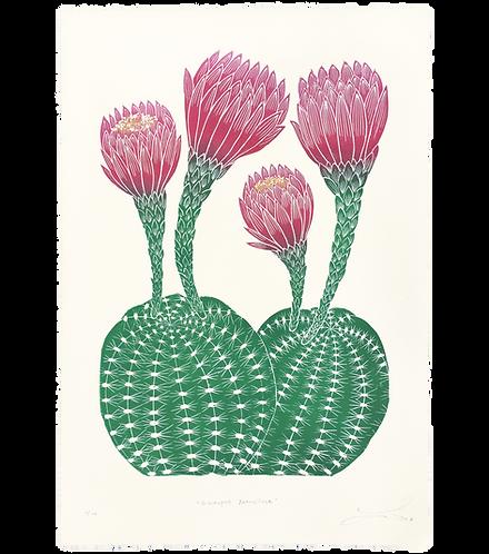 Echinopsis Mamillosa