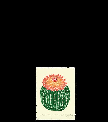 Echinocereus Pectinatus