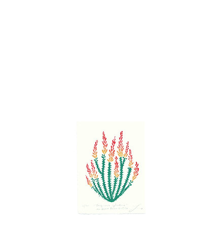 Fouquieria Splendens aka Desert Flame Ocotillo