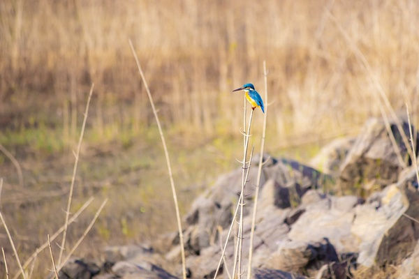 kingfisher.jfif