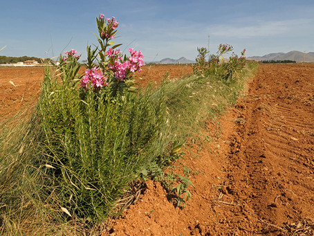 La Biodiversidad florece en los Setos Multifuncionales del Arco Sur del Mar Menor