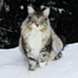 My man ♥️ #nfo #norwegianforestcat #cleo