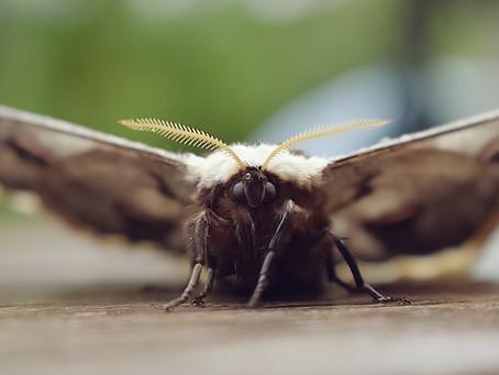 Papillon paon de nuit