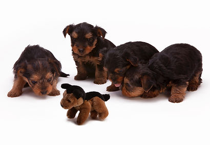 black-and-brown-long-haired-puppies.jpg