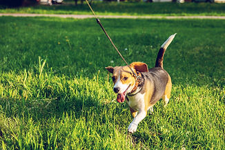 brown-and-black-beagle-walking-on-green-