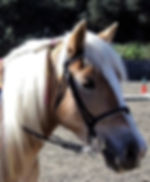 Honey, a Halflinger therapy horse