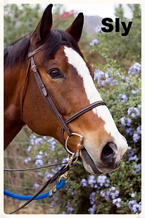 Sly, a Paint, retired therapeutic riding horse