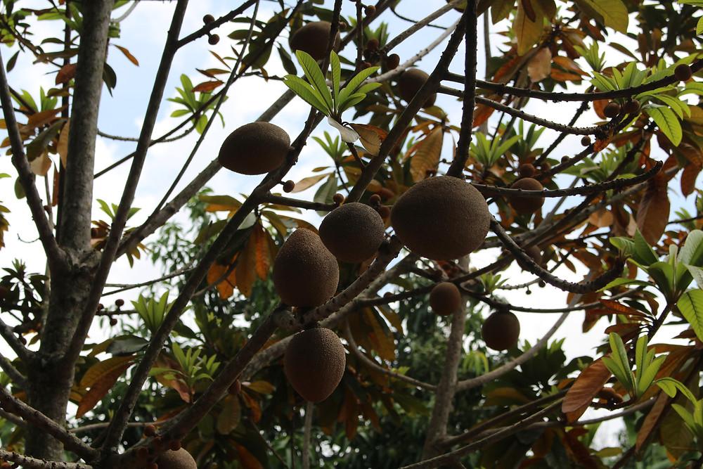 mamey fruit