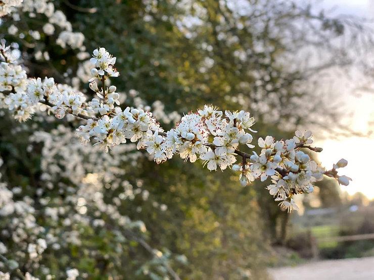 may blossom Rhena.jpg
