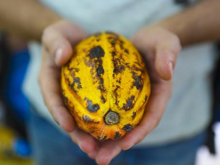 Le cacao, cette légende !