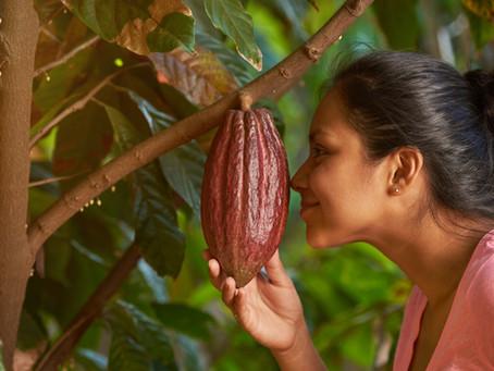 De la cabosse à la poudre de cacao