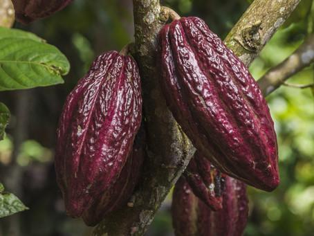 Tout ... Vous saurez tout sur le cacao !