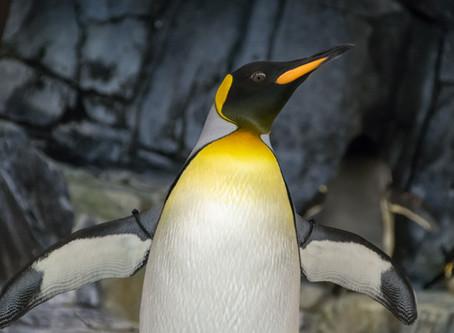 Journée internationale des manchots ... Mais comment les différencier des pingouins ?