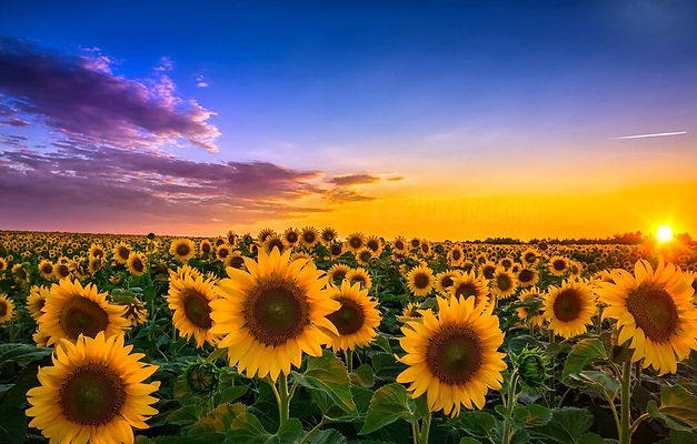 oboi-zakat-pole-podsolnukhi-tsvety-peizazh.jpg