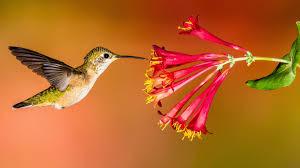 Juba Takes on the Hummingbird