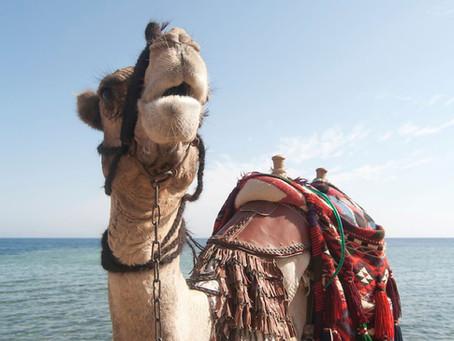 Giddy-up Camel, Let's Go!