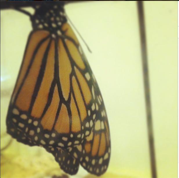 Male Monarch - 2014
