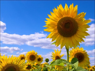 Winner of the Sunflower Contest held by World Courier