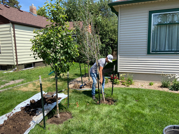 old-tree-removal-new-tree-landscaping.jp