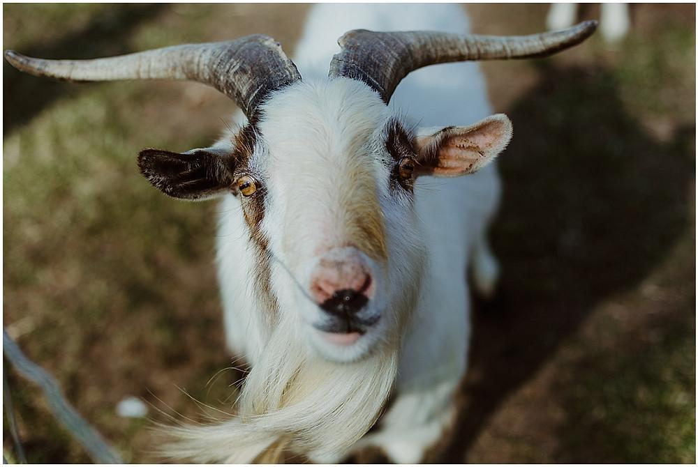 the bean farm goats