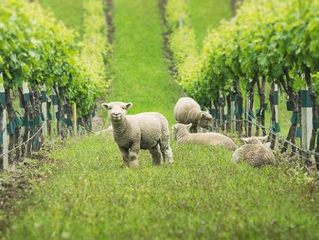 Des animaux dans les vignes - Vineyard animals