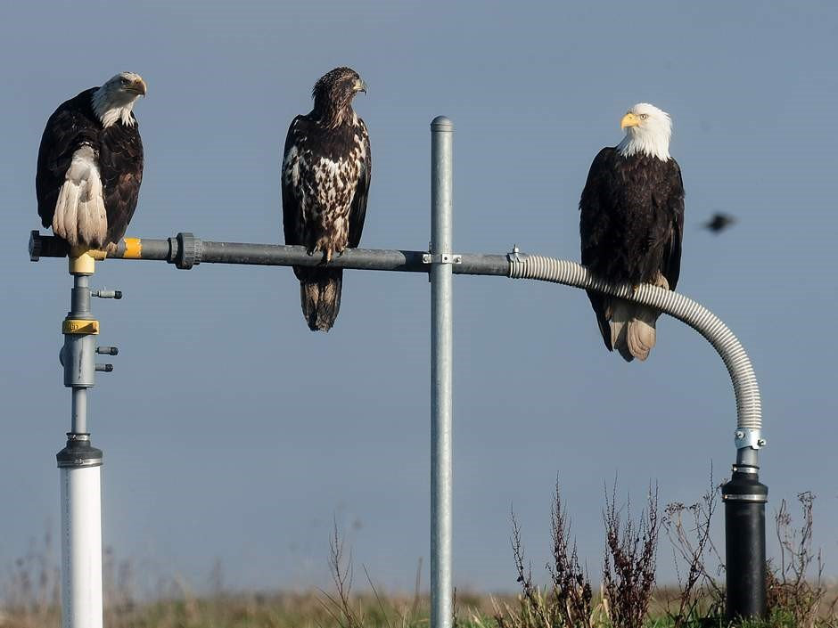 eagles on a gas well.jpg