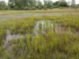 Wetland ID W2Energy.jpg