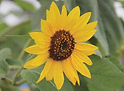 front sunflower.png