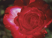 front red rose.png