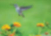front hummingbird.png