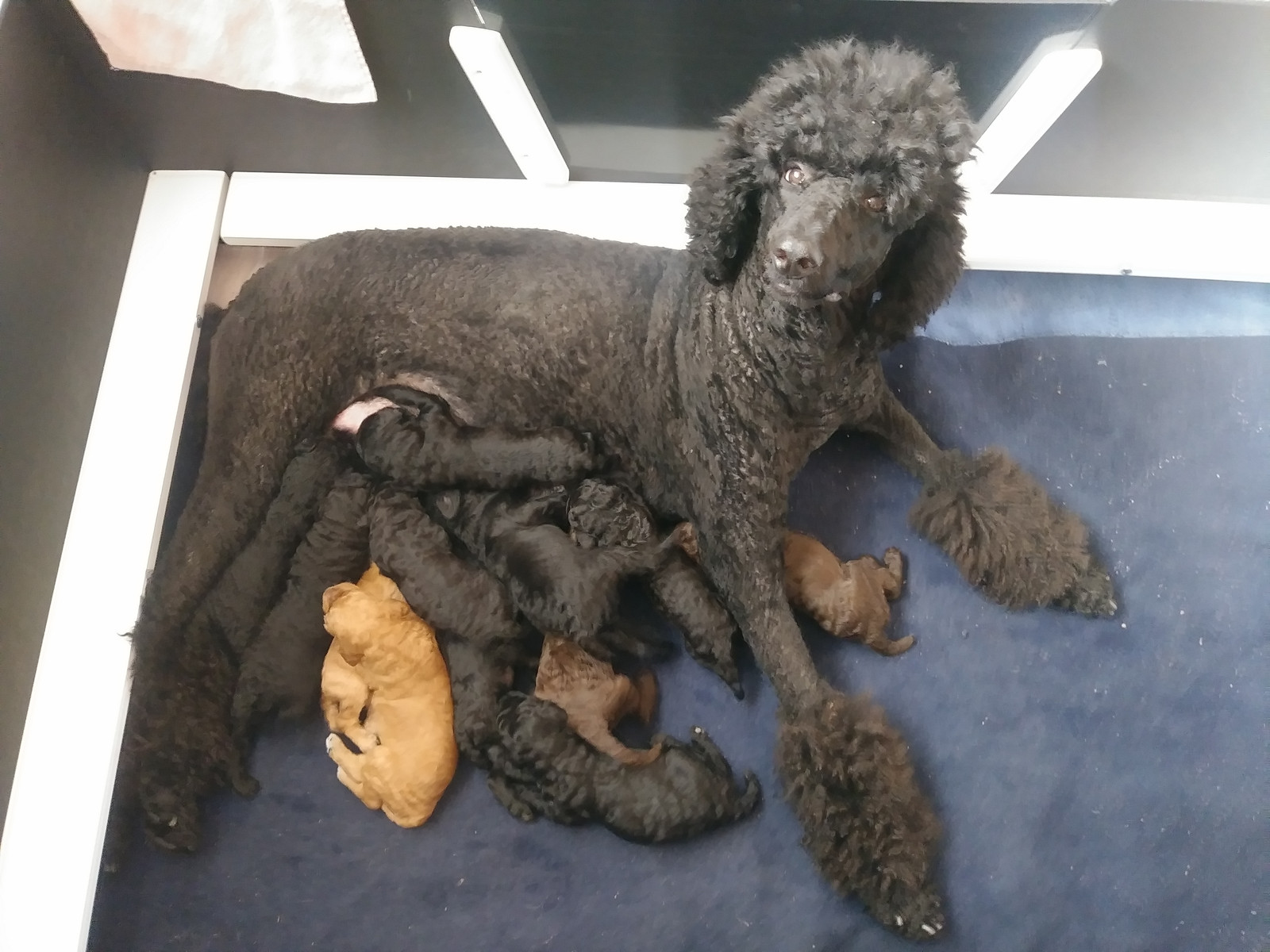 2018 litter 3 week snapshots | Standard Poodle Puppies for sale
