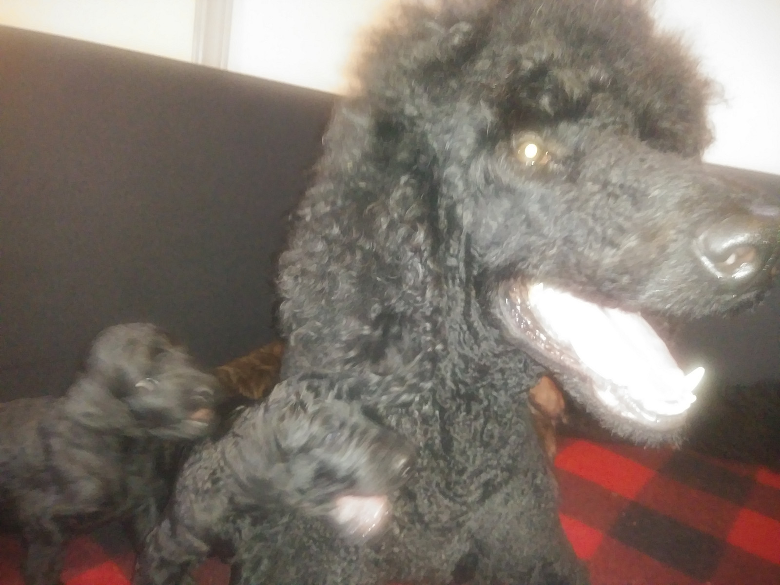 2018 litter 3 week snapshots | Standard Poodle Puppies for