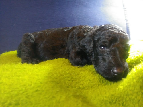 Sonny (m) seven weeks 8 92 lbs  | Standard Poodle Puppies