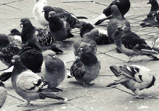 Pigeons-01.jpg