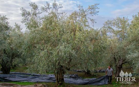 Tieber-natürlicherÖlgenuss_Olivenbaumern