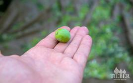 Tieber-natürlicherÖlgenuss_Olive_Hand_01