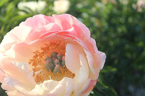 Peony USA bare-root peonies online store