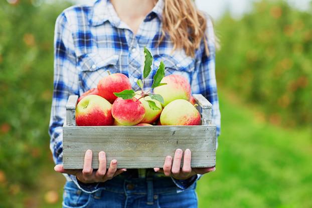 Apple Picking in Virginia