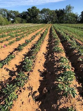Peony USA Molenaar Agriculture