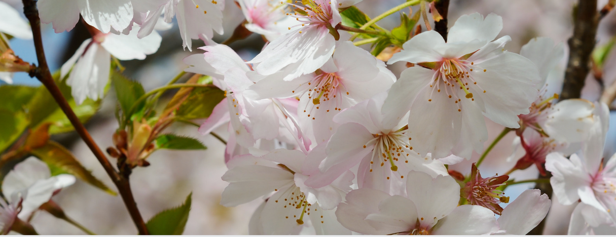 Apple Blossoms.png