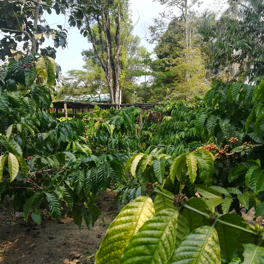 Kebun kopi koffieplanten