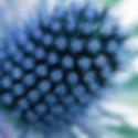 chardon bleu actif principal d'Algologie