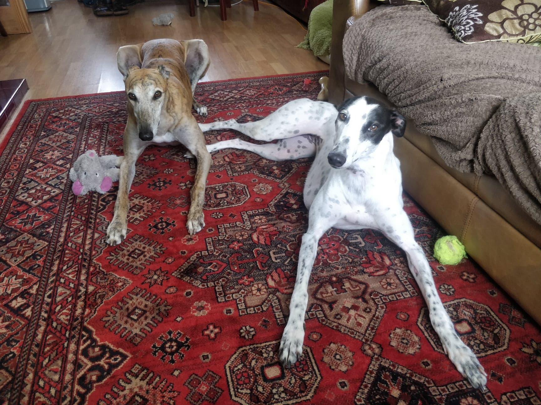 Greyhounds doing dog training and learning to settle on command