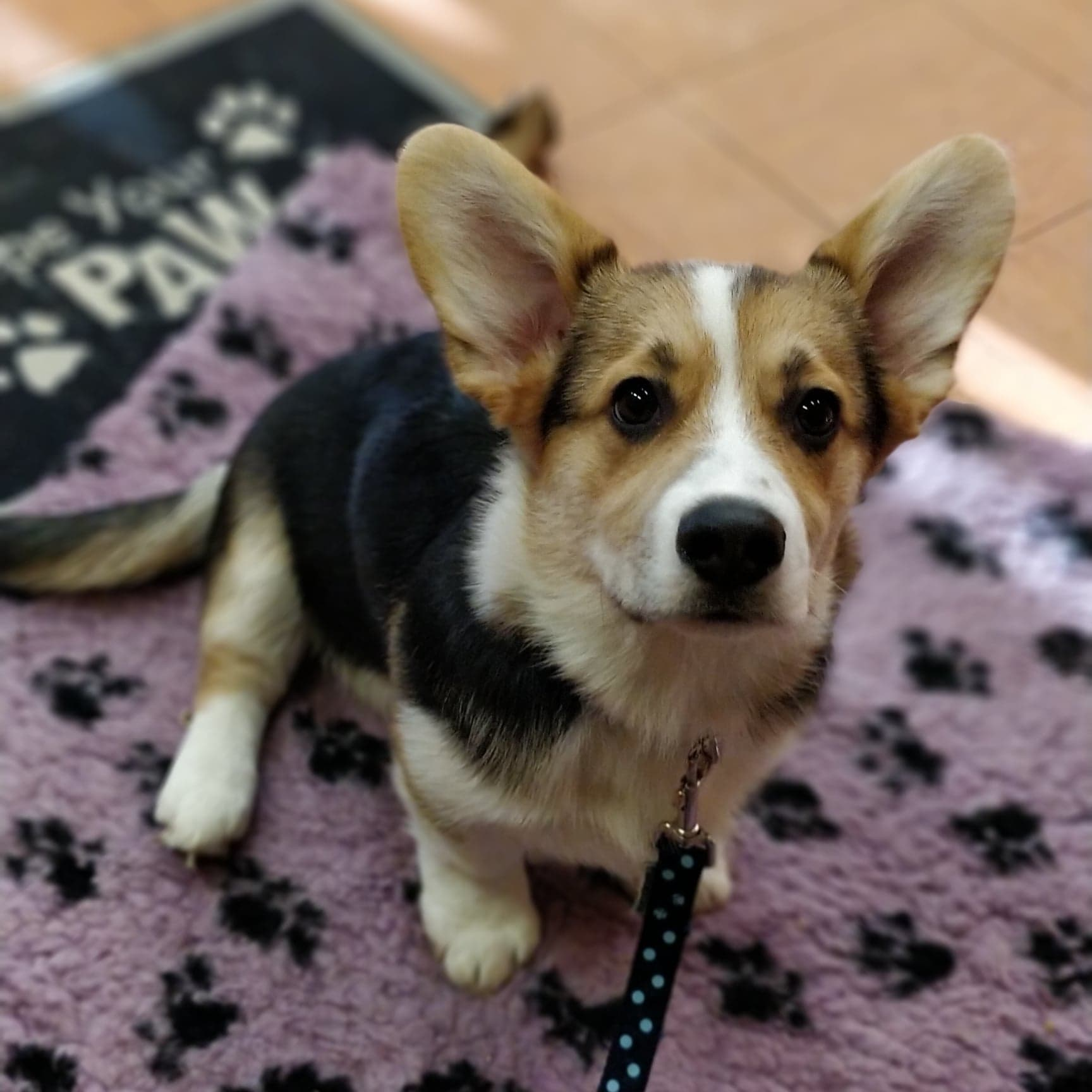 Corgi puppy doing dog training and learning to sit on command
